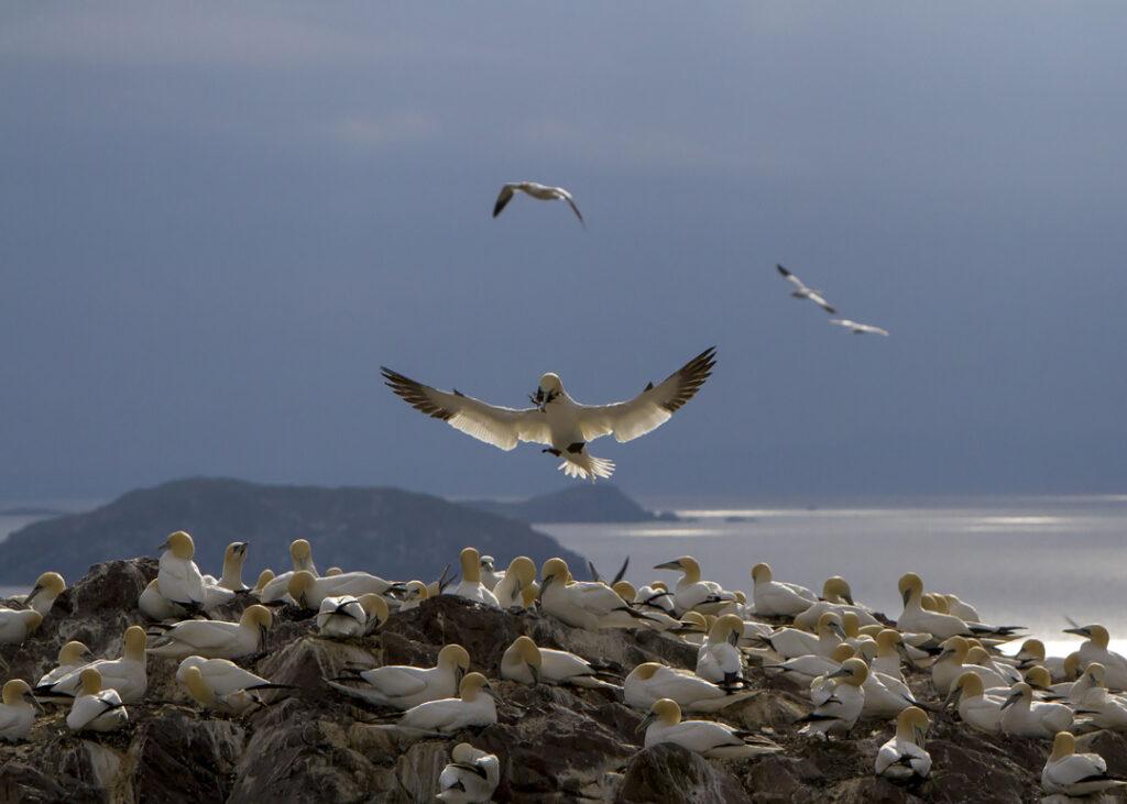 Havssula, Bass Rock