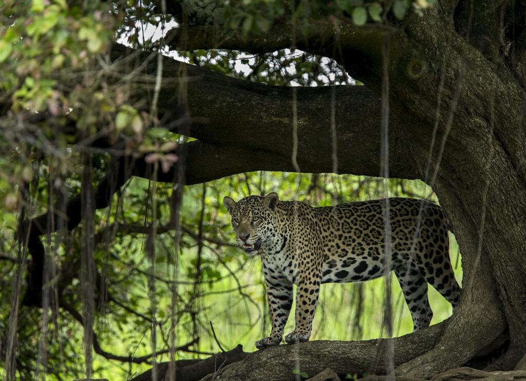Fotoresor till Pantanal | Jaguarer