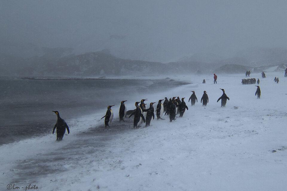 Pingviner kommer upp ur havet