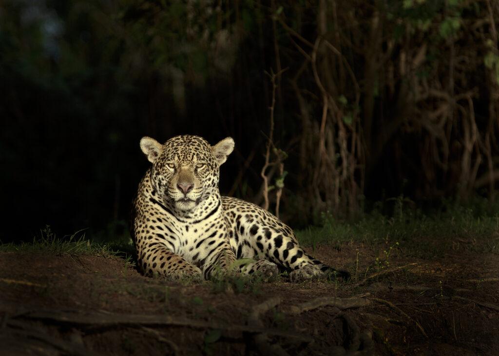 Jaguar i Pantanal, Brasilien