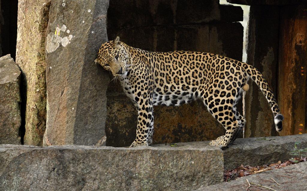 Jan Fleischmann | Leopard | Indien